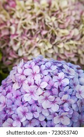 floral background of large Inflorescences of French hydrangea, wet after rain