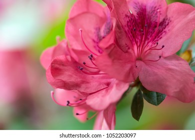 Floral background of lush fresh pink azalea flowers close-up. Shallow depth of field, selective focus, blur background.