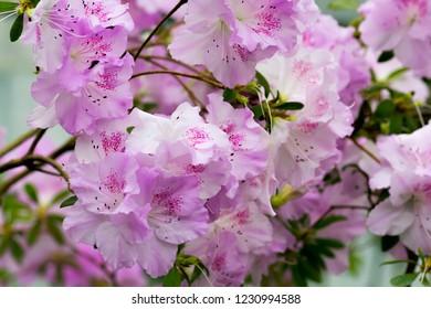 Floral background of lush fresh pink azalea flowers. Shallow depth of field, selective focus. Azalea flower background.
