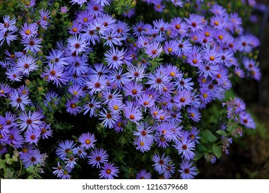Floral background and natural pattern with violet aromatic aster (symphyotrichum oblongifolium) 'Raydon's Favorite' flowers blooming in the park. Macro.