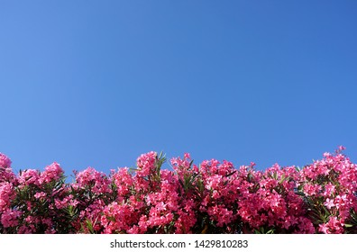 Floral background with nerium oleander. Top of pink flowers on the blue sky background