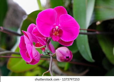 Floral Background. Phalaenopsis orchid (moth orchids) pink and white flowers blooming in the garden. Orchid pattern. Macro