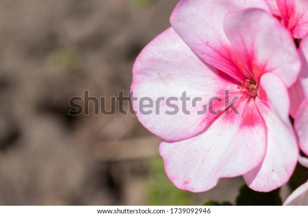 floral-background-pink-geranium-macro-60