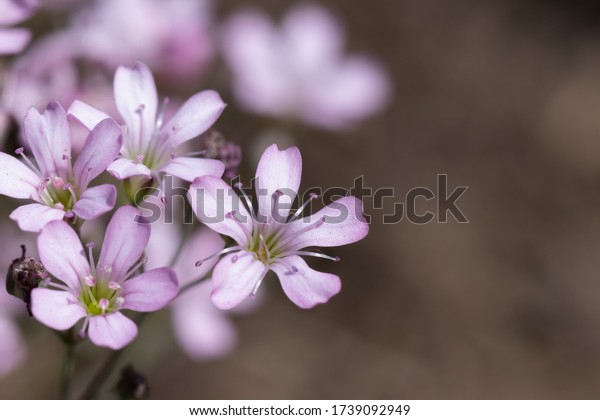 floral-background-pink-gypsophila-repens
