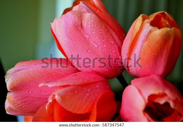 Floral background of pink tulips.