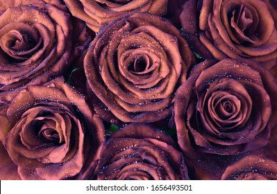 Floral background. Red dark rose flowers in dew drops close-up.