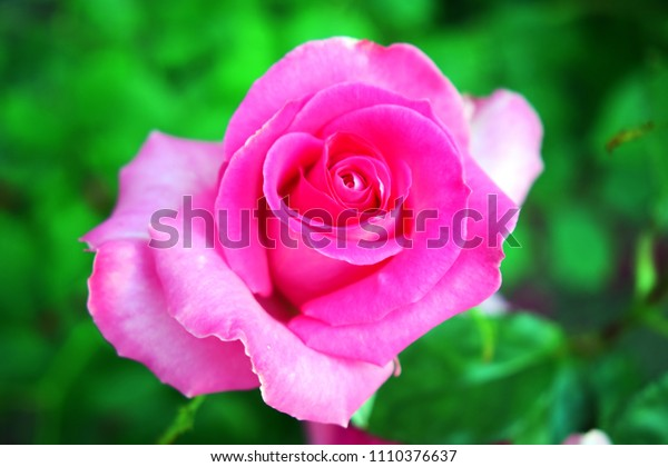 Floral background with rose flower close-up