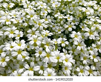 Floral background - small flowers with white petals.