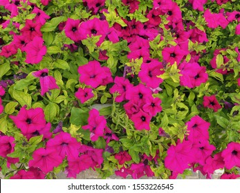 Floral background. Supertunia Royal Magenta Petunia, hybrid plant with dark pink flowers. Tidal Wave Purple Petunias have numerous bright purple trumpet-shaped blossoms and green trailing foliage.