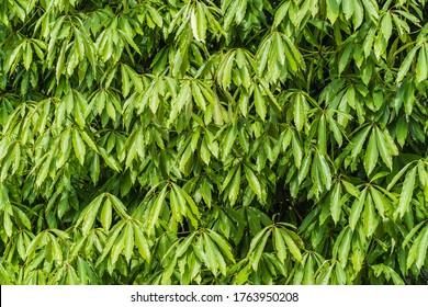 Floral background with texture of Polyalthia longifolia leaves. Full species name - Polyalthia longifolia (Sonn.) Thwaites. Abstract leaves pattern. Stock photo.