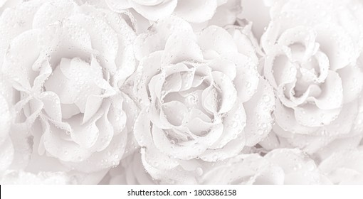 Floral background and texture. Roses background in a light tone with water drops