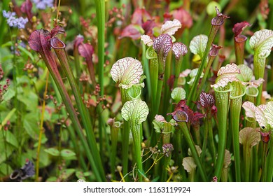 Floral background with vivid green The Carnivorous Pitcher Plants (Pale pitcher, Sarracenia alata) on the field with green and white grass and flowers, macro, autumn season.