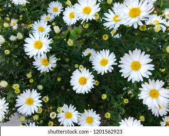 Floral background - white autumn flowers.