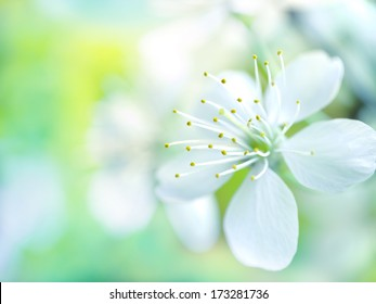 Floral background: white cherry flowers on blurred background.