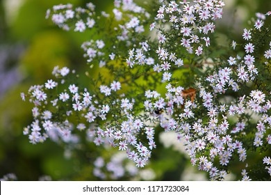 Floral background with wild Crooked-Stem Aster (Symphotrichum prenanthoides) in blooming. Tiny light-blue aster flowers with green background.