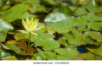 floral background with yellow Nymphaea waterlily