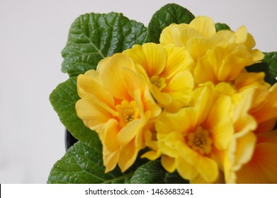 floral background with yellow primula