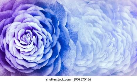 Floral blue background. A bouquet  roses  flowers.  Close-up.   floral collage.  Flower composition. Nature.
