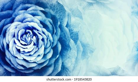 Floral blue background. Blue  roses  flowers.  Close-up.   floral collage.  Flower composition. Nature.   .