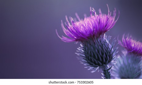 Floral blue-violet background.  Pink  thorny thistle flower. A pink flower on a blue background. Closeup.  Nature. .