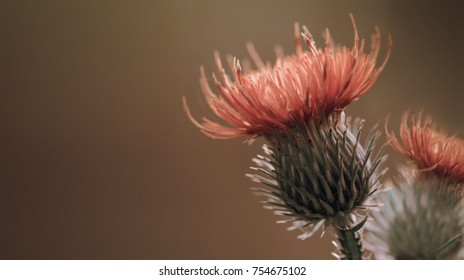 Floral brown background. Red thorny thistle flower. A red flower on a  violet background. Closeup.  Nature.