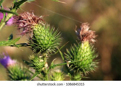 A floral bud of thistle, a wild, green, melliferous plant growing on a meadow