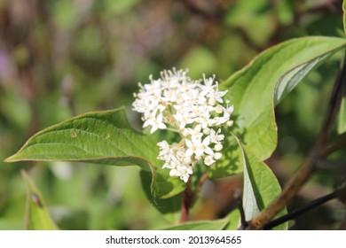 floral up close on Firedance Dogwood
