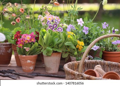 Floral composition with spring flowers in old aged, weathered ceramic, pottery flowers pots, zinc watering can, authentic gardening tools on wood, garden background, outdoor and space, vintage style