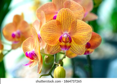 Floral concept. Orchid growing tips. How take care of orchid plants indoors. Most commonly grown house plants. Orchids blossom close up. Orchid flower pink and yellow bloom. Phalaenopsis orchid.