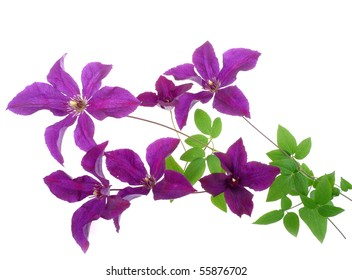 floral decoration from clematis flower