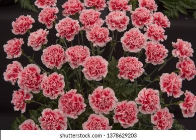 Floral Display of Perpetual Flowering Carnations (Dianthus 'Vanity')