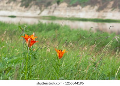 Floral field with Red flowers. Floral field with Red flowers. Closeup Lilium dahuricum, Lilium pensylvanicum, lily flowers in meadow. Front view