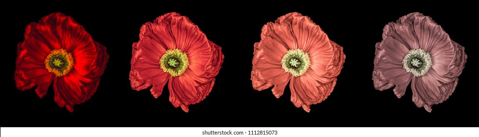 Floral fine art still life detailed color macro flower portrait of a collection of four isolated red glowing satin/silk poppy wide opened blossom isolated on black background with detailed texture