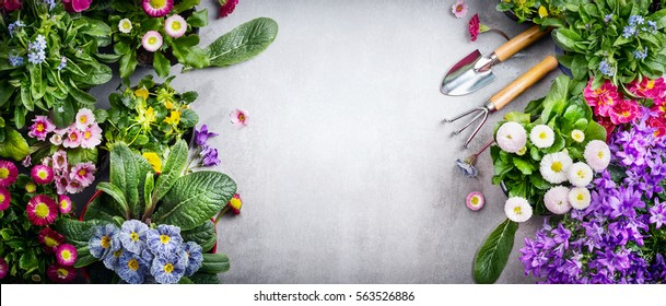 Floral gardening background with variety of colorful garden flowers and gardening tools on concrete background, top view, place for text, banner