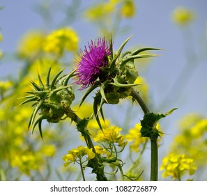 Floral heads of milk thistle, yellow wildflowers and blue sky in background