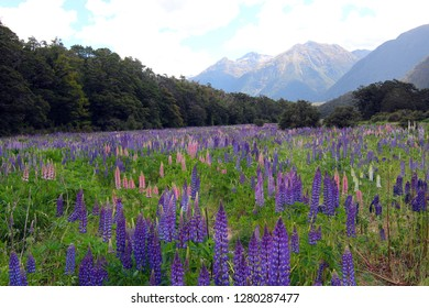 Floral landscape of New Zealand: Flowering of Lupins (Lupinus polyphyllus) along the road to Milford Sound, Fiordland National Park, New Zealand