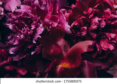 Floral macro background. Buds and petals of beautiful peonies on black background.