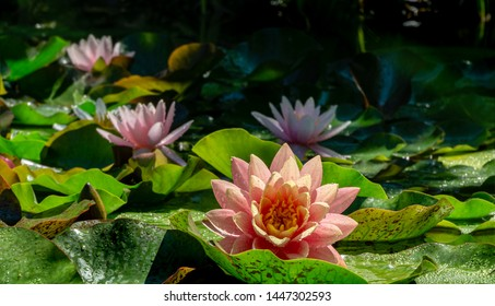 Floral magic natural landscape with close-up of water lilies or lotus flowers Perry's Orange Sunset with spotty leaves with three pink nympheas in garden pond. Magic atmosphere. Selective focus