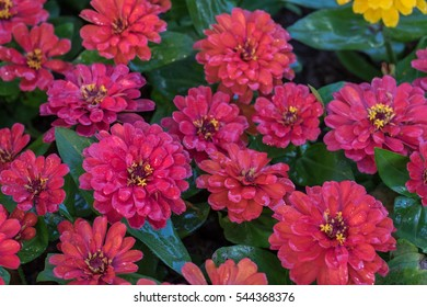 Floral pattern Beautiful background of autumn Zinnia, selective focus