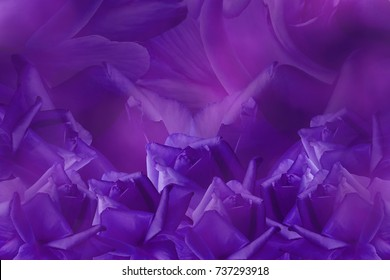 Floral purple beautiful background from roses.  Flower composition. Violet roses on a purple background. Postcard for the holiday.  Nature.