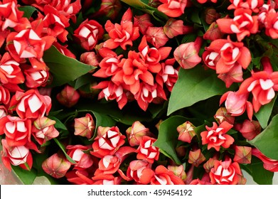 Floral red flower bouvardia for interior decoration and bouquets. Texture