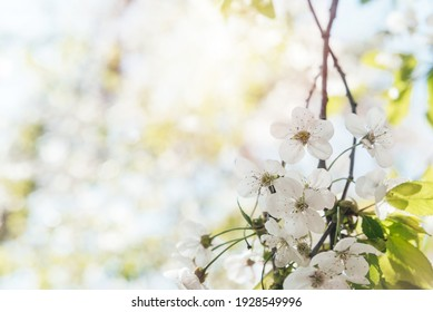 Floral spring bacgkround with blossoming cherry tree brunch