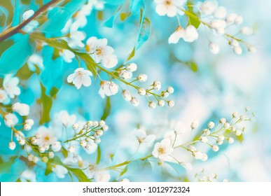 Floral spring background, soft focus. Branches of blossoming bird-cherry (Prunus padus) in spring outdoors macro in vintage turquoise pastel colors. Delicate elegant airy artistic image of spring