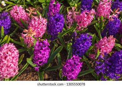 Floral spring background or texture. Spring field of fragrant flowers of hyacinths. Hyacinth delicate spring flower, a symbol of spring.