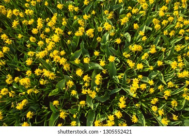 Floral spring background or texture. Spring field of fragrant flowers narcissus. Narcissus delicate spring flower, a symbol of spring.