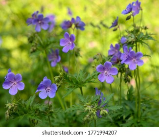 Floral summer background of flowers geranium pratense (meadow cranesbill) in the morning sunlight
