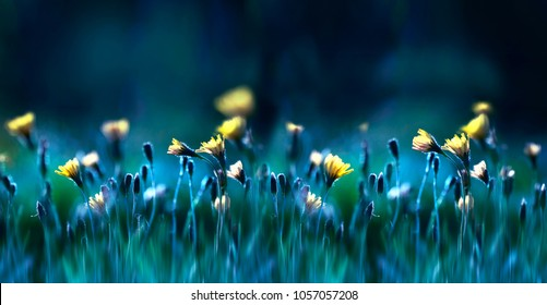 Floral summer spring background. Yellow dandelion flowers close-up in a field on nature on a dark blue green background in evening at sunset. Colorful artistic image, free copy space.