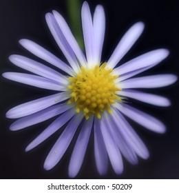 Floral - Sunburst