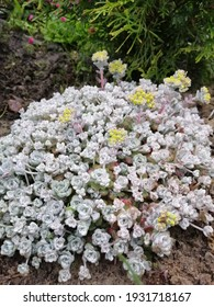 floral Wallpaper with an unusual grey Sedum Cape Blanco with thick leaves and a yellow blooming flower with small inflorescences.alpine groundcover
