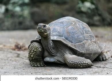 Floreana Island, Galapagos, ECUADOR - February 13, 2014; Galapagos tortoise at the tortoise reserve on Floreana Island, Galapagos, Ecuador February 13, 2014
